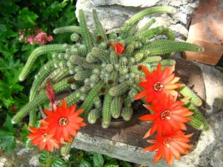 Peanut Cactus (Echinopsis Chamaecereus)