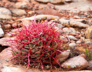 Compass Barrel Cactus (Ferocactus Acanthodes)