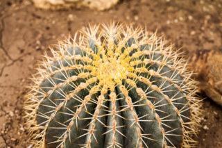 Blue Barrel Cactus (Ferocactus Glaucescens)