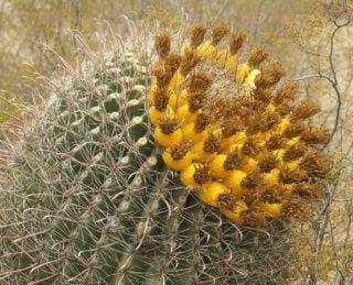 Candy Barrel Cactus (Ferocactus Wislizenii)
