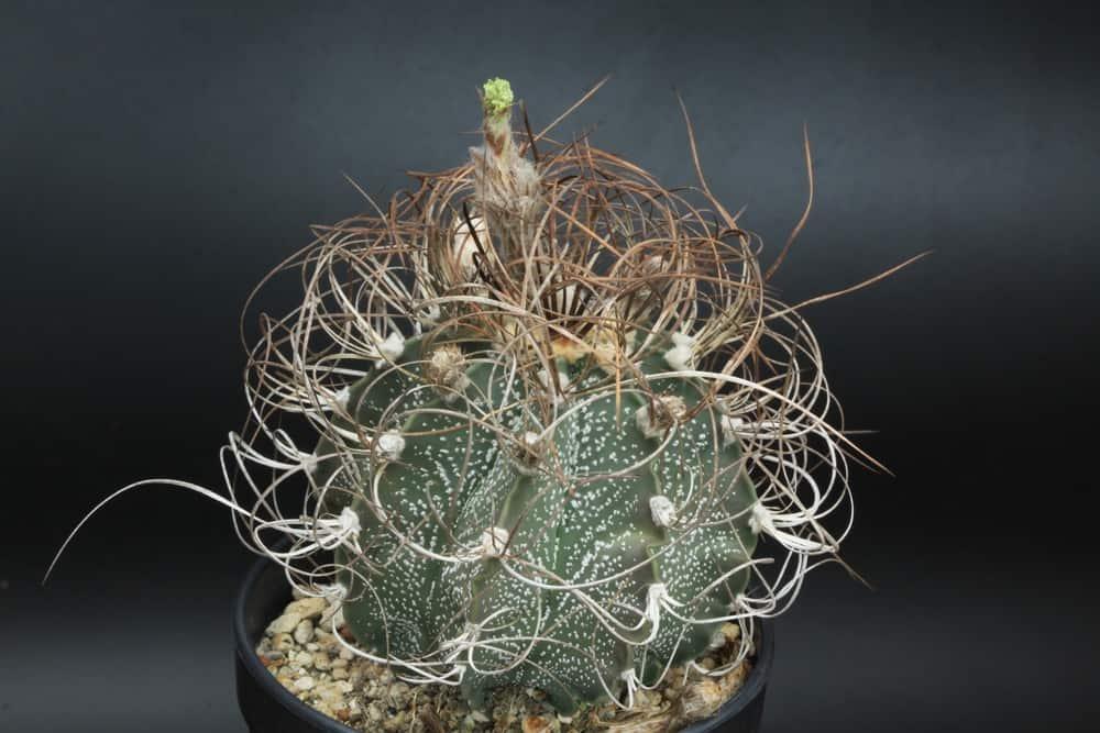 God's Horn Cactus_Astrophytum capricorne