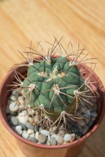 Giant Chin Cactus (Gymnocalycium Saglionis)