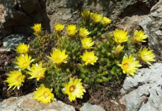 Bird's Nest Cactus (Mammillaria Longimamma)