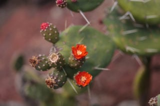 Red Buttons Opuntia (Opuntia Quitensis)
