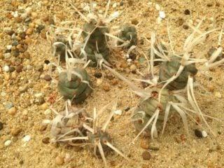 Paper Spine Cactus (Tephrocactus Articulatus)