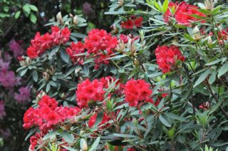 Red flowered rhododendron shrub