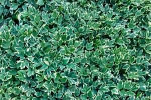 99 Types Of Shrubs A To Z Picture Database