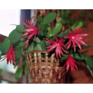 An Easter Cactus potted indoors showing off its red flowers.