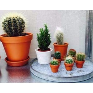 An assortment of desert type cactus houseplants.