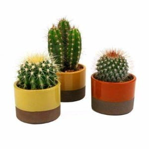 A trio of indoor cactus that do not produce flowers.