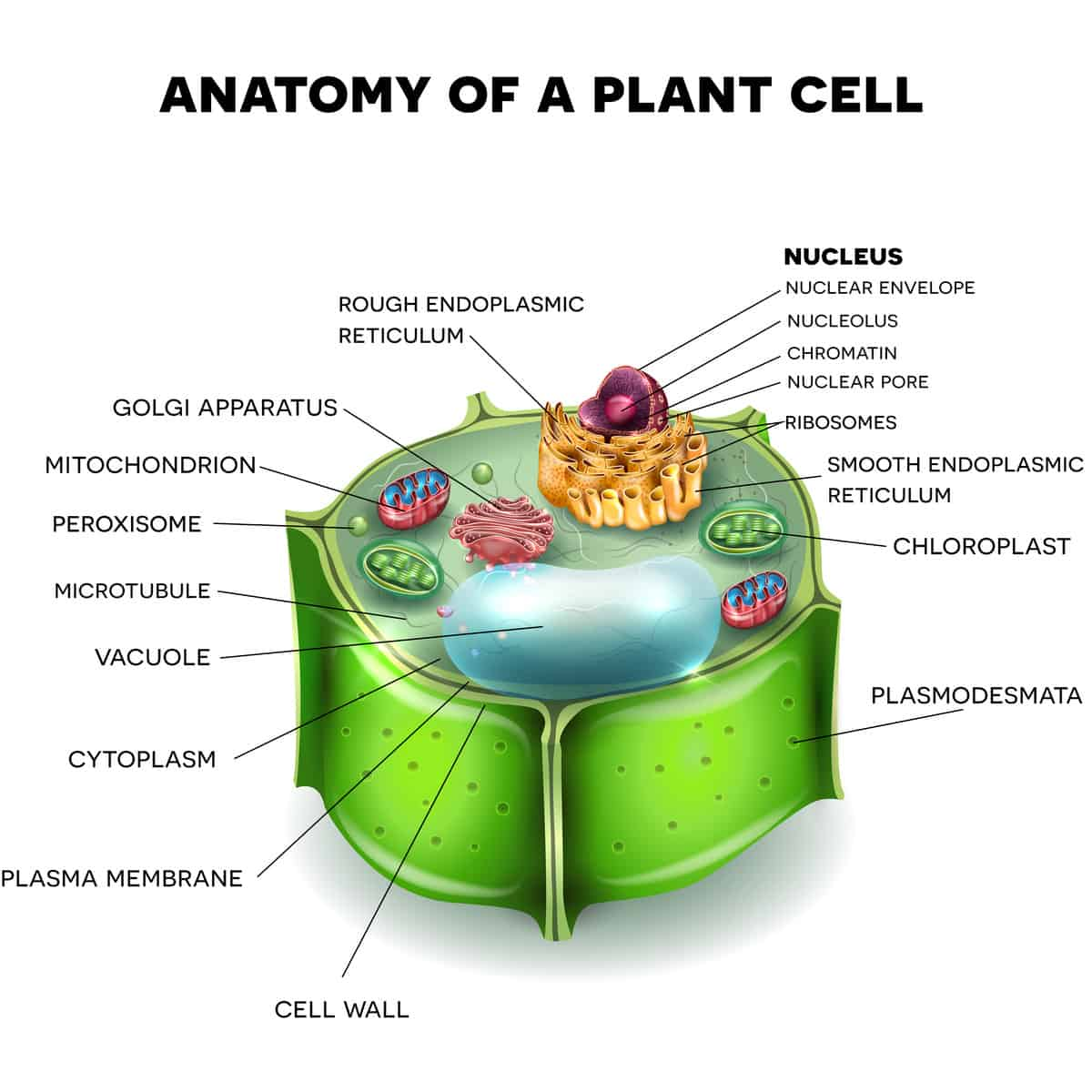 Parts of a flower and plant 7 diagrams flower cell leaf stem etc illustration of a plant cell ccuart Gallery