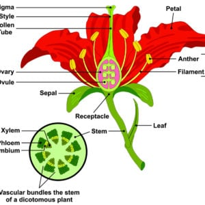 Diagram showing the different parts of a flower