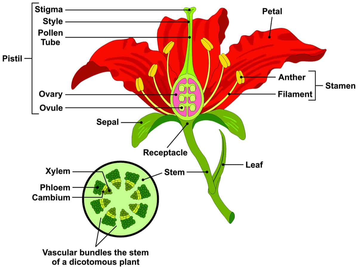 parts of a flower and plant (7 diagrams: flower, cell, leaf, stem etc.)