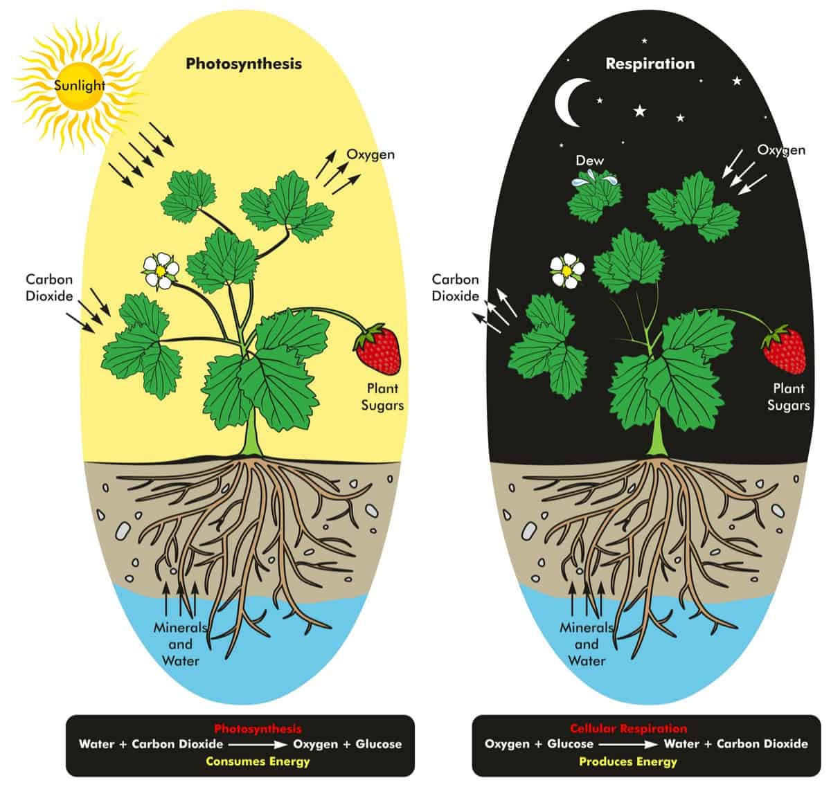 Plant respiration cycle between day and night.