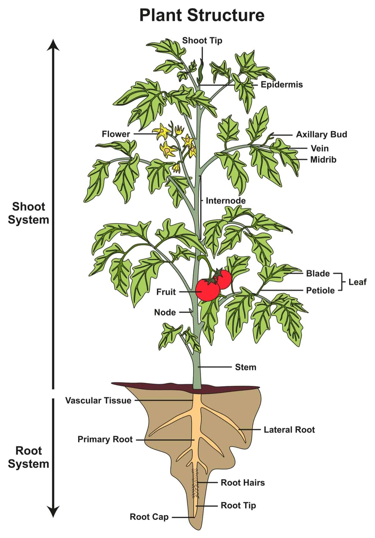 diagram of a plant structure