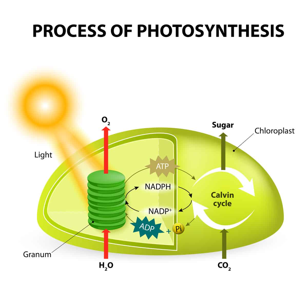Diagram showing the process of photosynthesis