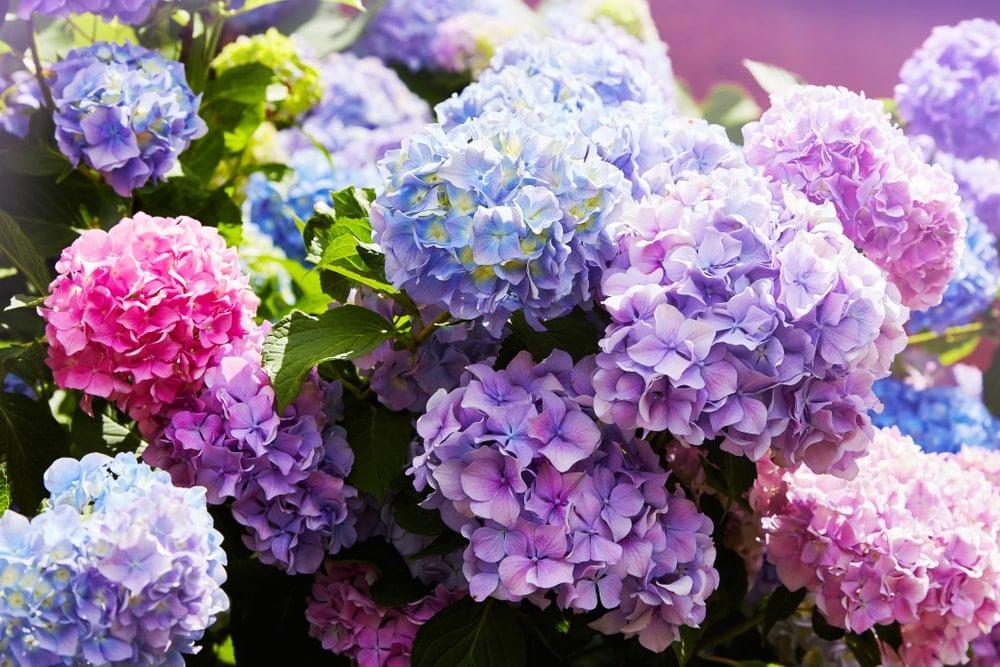A cluster of beautiful hydrangeas.