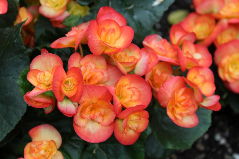 A close look at deep orange begonias in full bloom.
