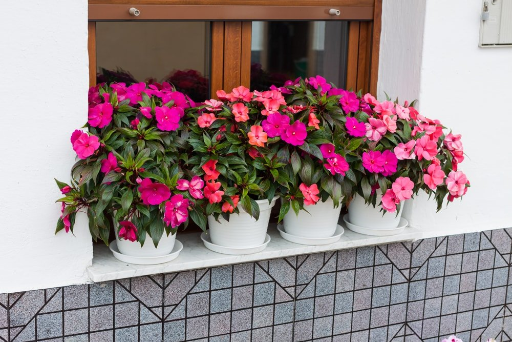 A row of pots with impatiens planted by the window.