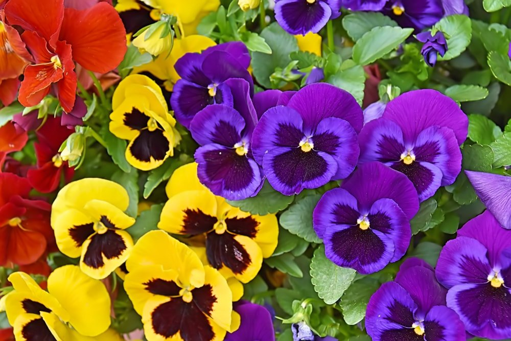 A bunch of colorful and vibrant pansies.