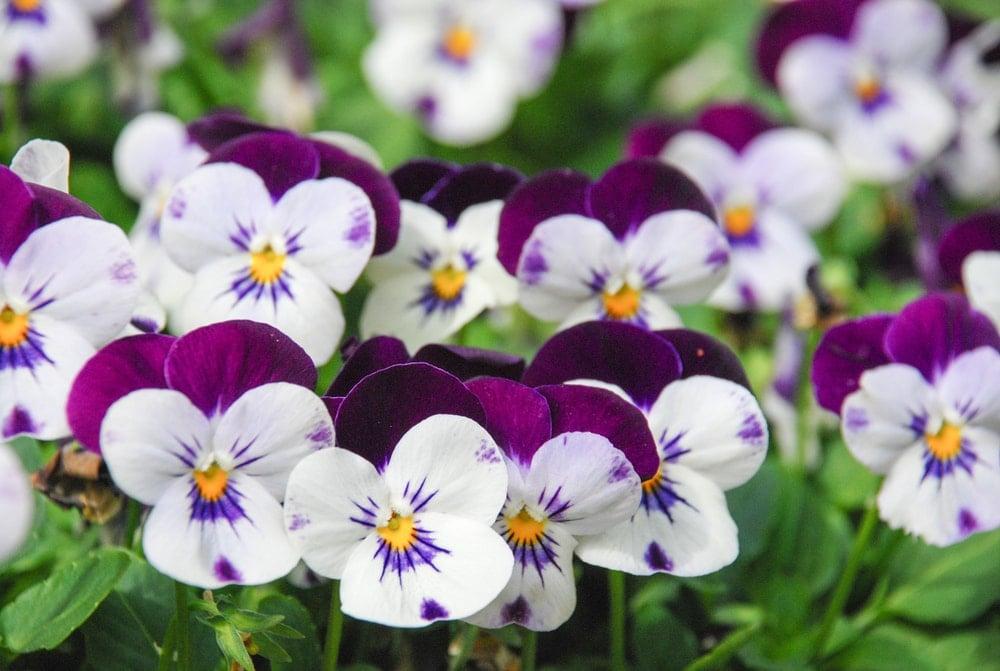 A nice close up of white and purple violas.
