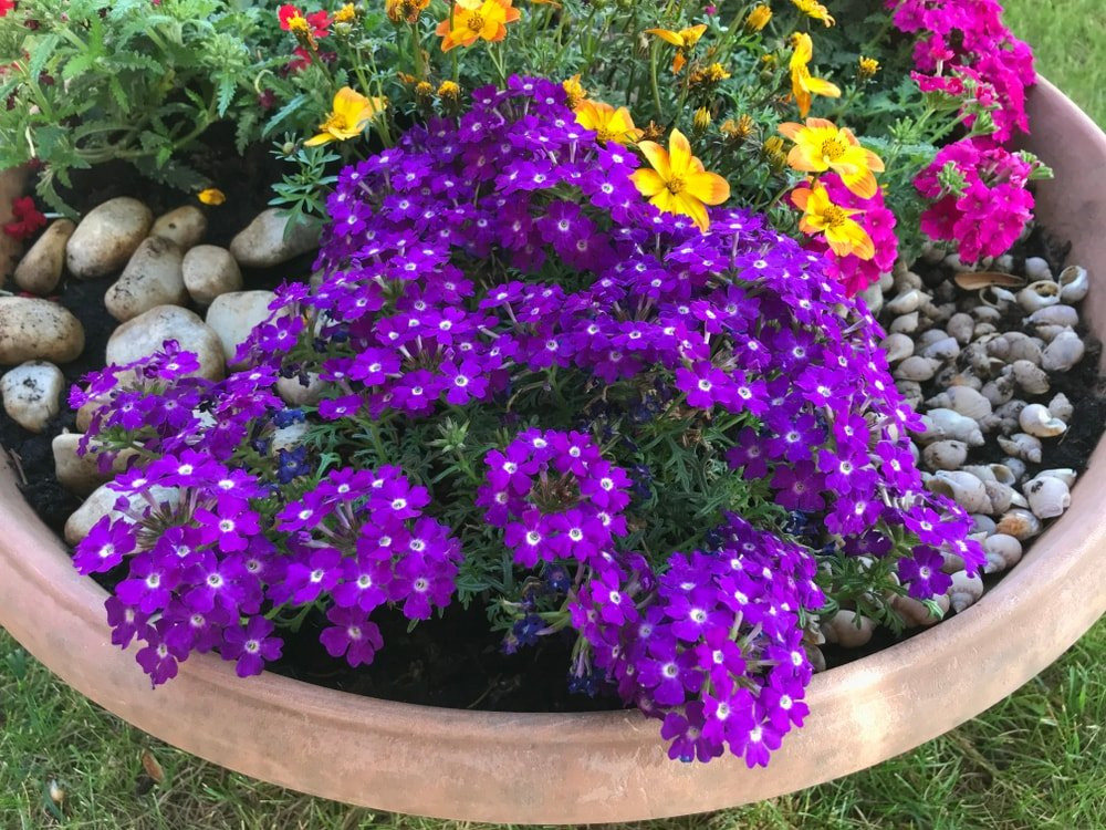 A miniature garden of verbena flowers.