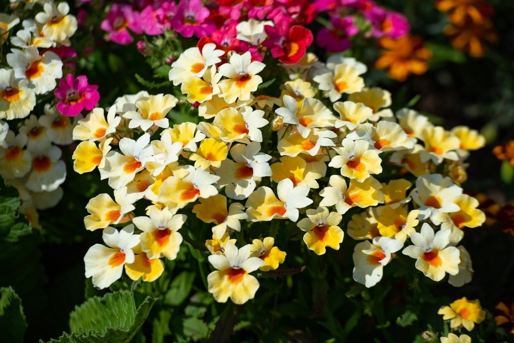 A close look at a cluster of nemesias.
