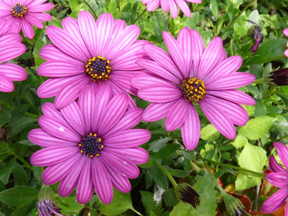 The beautiful African Daisies in full bloom.