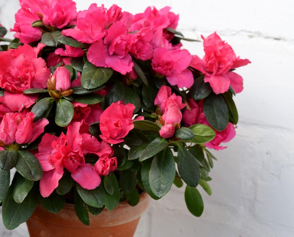 A pot of lovely pink azaleas in a pot.