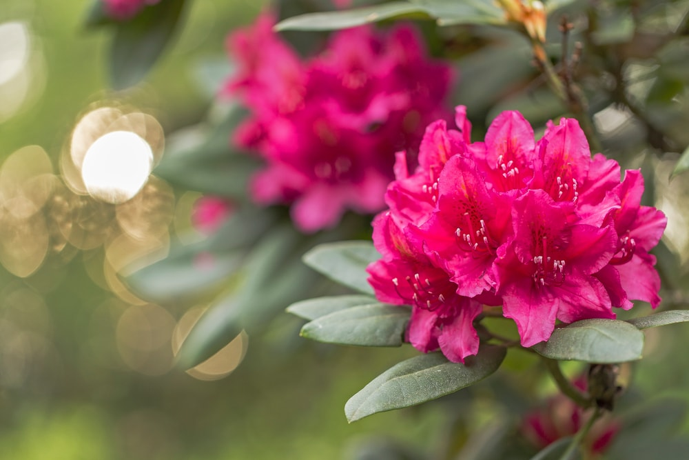 A close examination of a beautiful rhododendron flower.