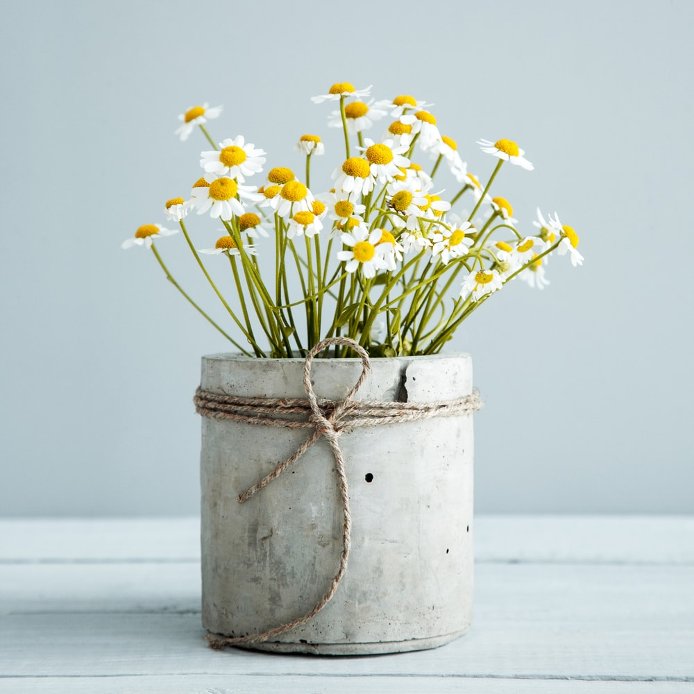 A cluster of lovely chamomile flowers in a concrete pot.