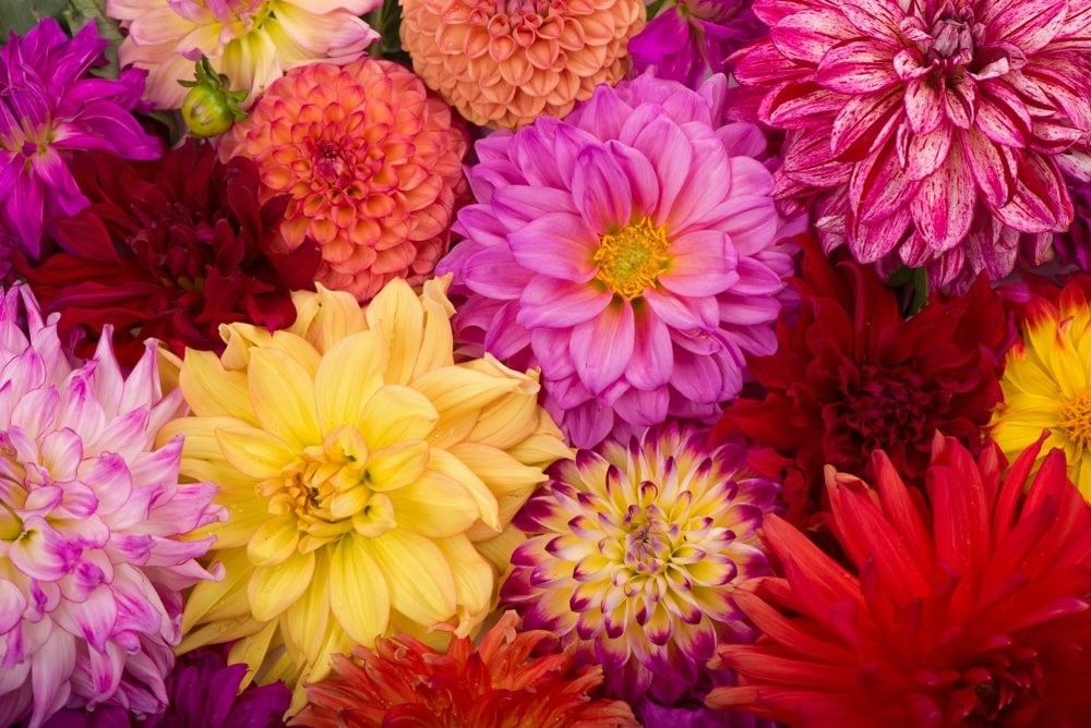 A close look at clusters of colorful dahlias.