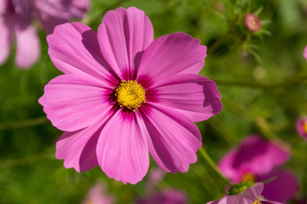 A close look at a single cosmos flower.