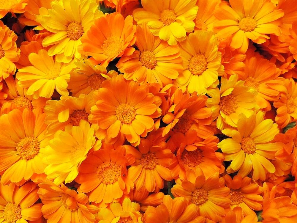 A bunch of beautiful deep orange calendulas.