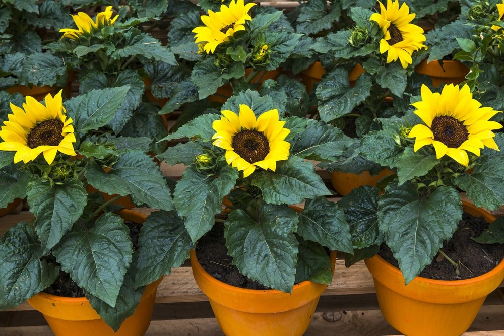 A bunch of potted sunflowers.