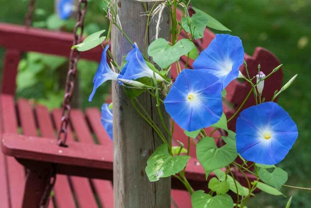 Beautiful blue morning glories growing on a wooden pole.