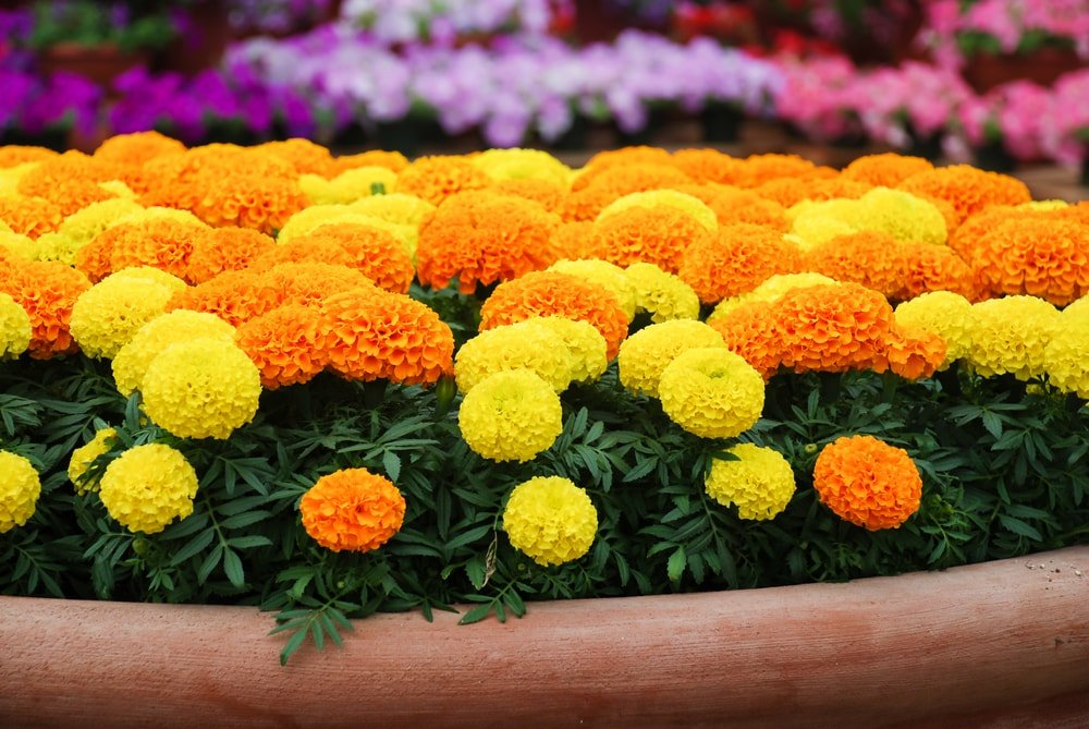 Gorgeous clusters of marigold in a pot.