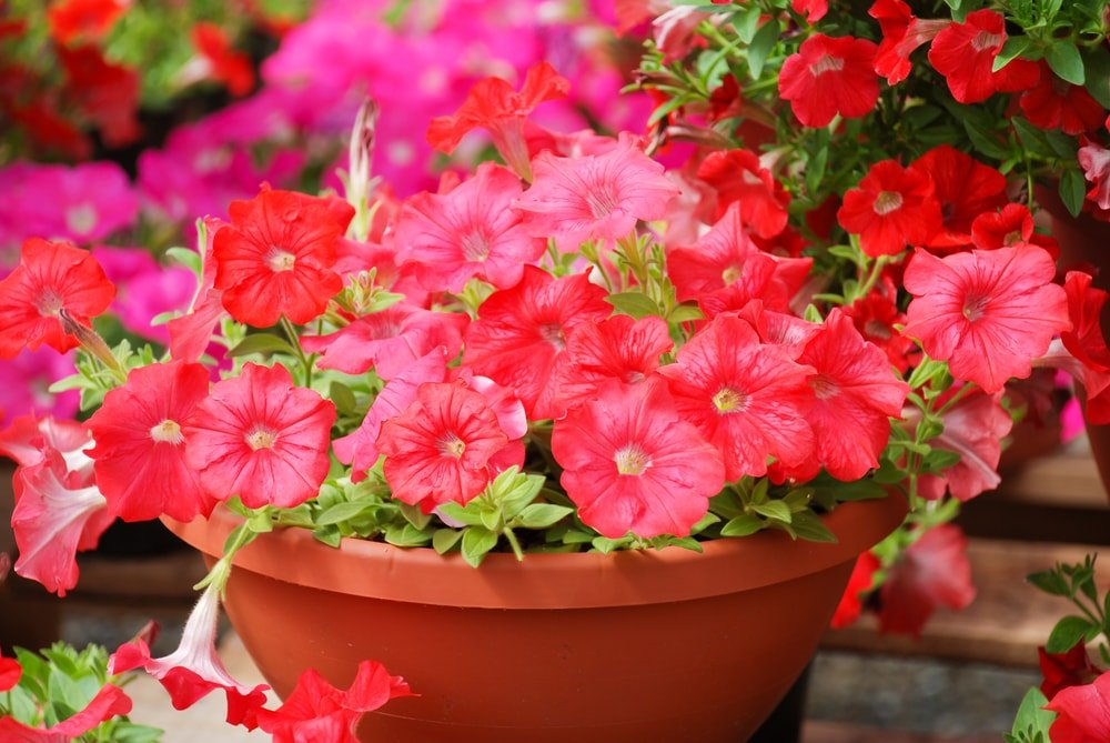 A cluster of gorgeous petunias growing in a pot.