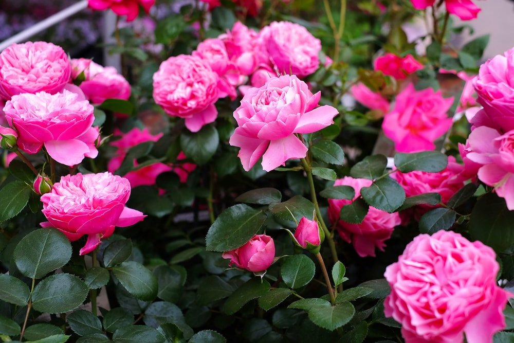 A garden of lovely pink roses.