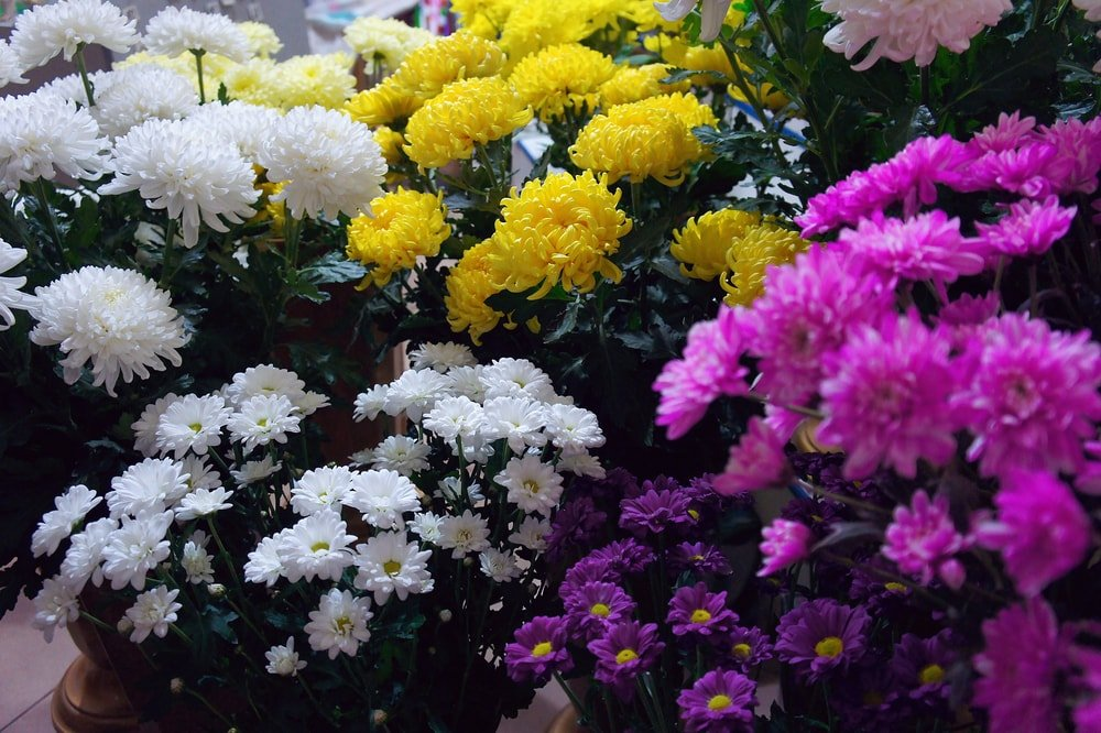Gorgeous cluster of white, yellow and pink chrysanthemums.