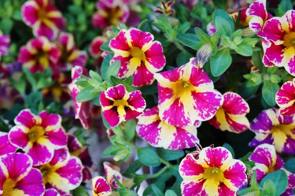 A close look at pink and yellow million bells flowers.