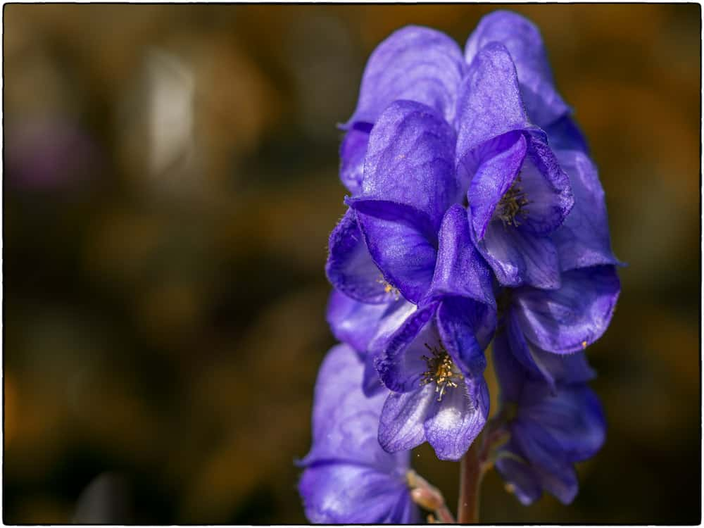 Monkshood flower - starts with M