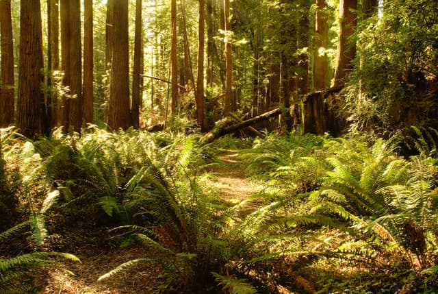 Redwood forest that is sustainably managed for redwood lumber