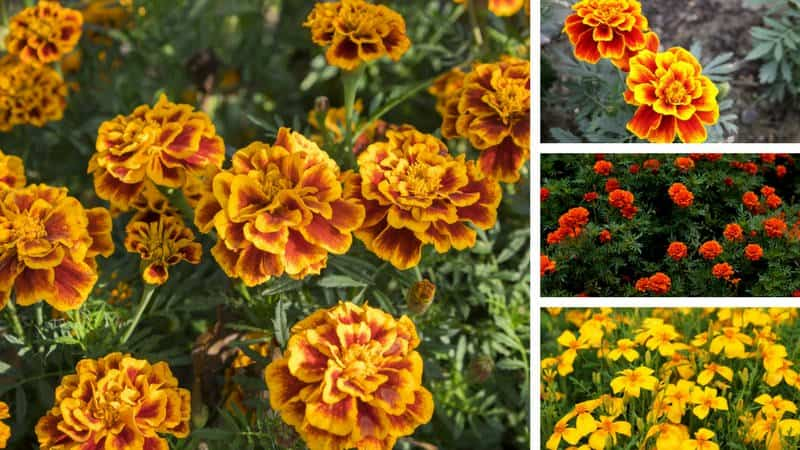 Photo showing the 4 different types of marigolds
