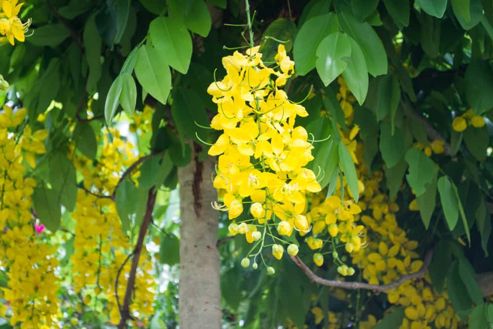 The bright yellow flowers of a Cassia leptophylla tree