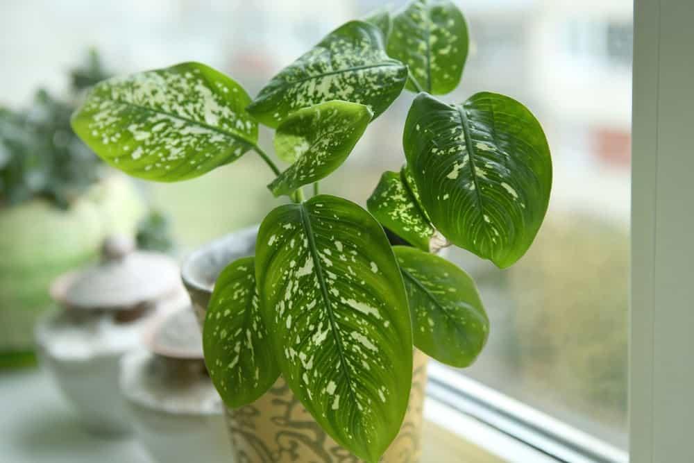 Dieffenbachia plant.