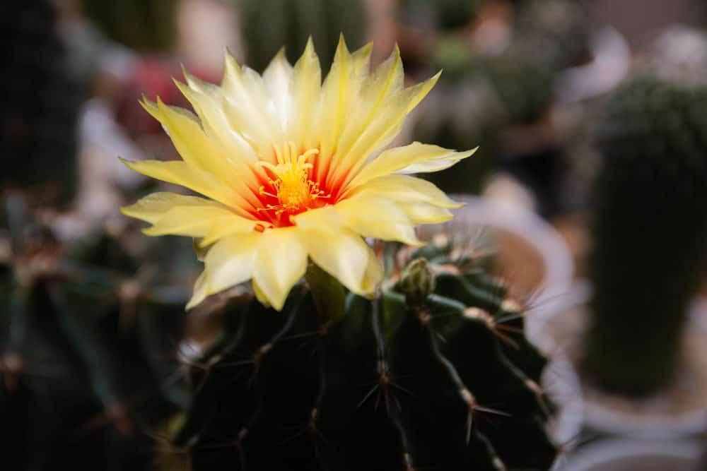Hamato cactus