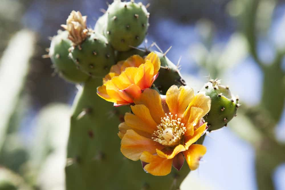Prickly pears cactus (Opuntia ficus-indica) with golden flowers