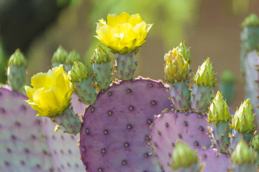 Purple Santa Rita Prickly Pear Cactus with Yellow Flowers