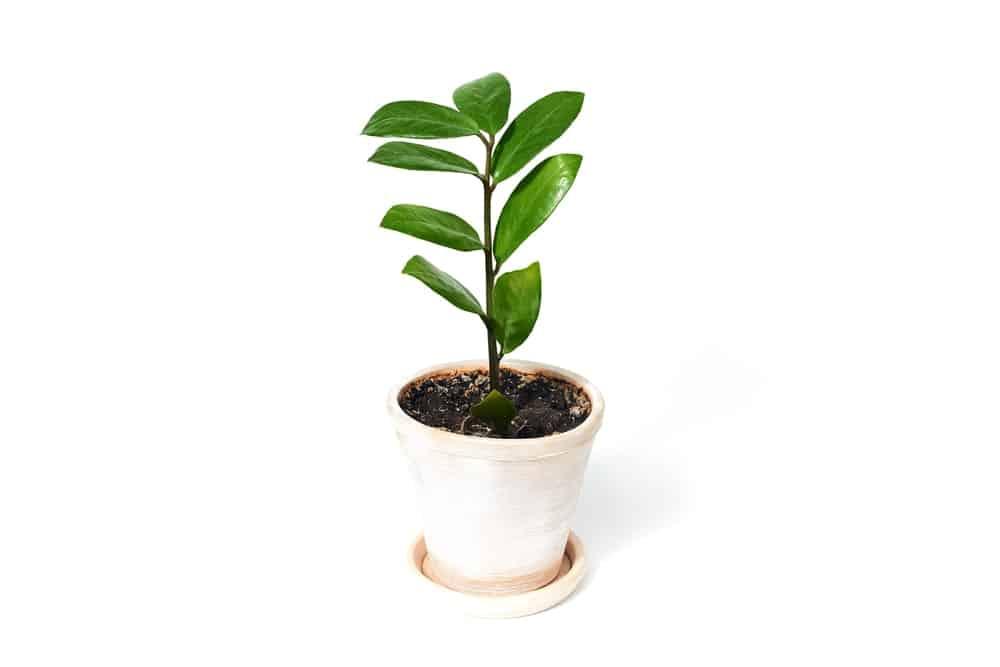 ZZ plant.